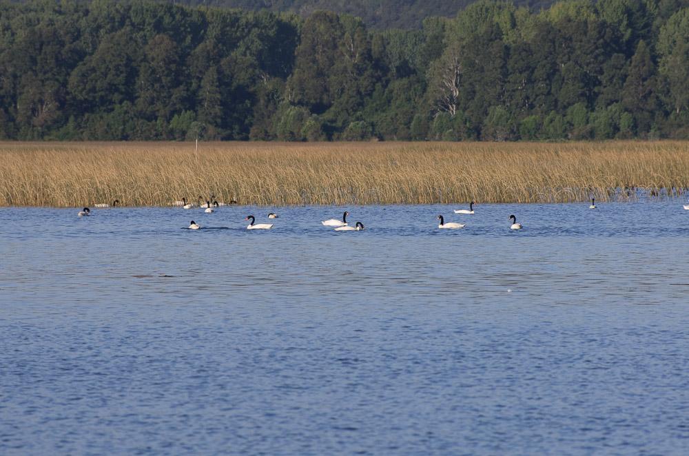 cisnes-cuello-negro-rio-cruces-3